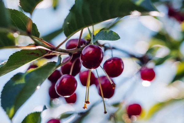 Edible Garden Fruit Trees Ashhurst New Zealand